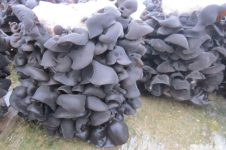 Black Fungus Spawn & Fungus Logs