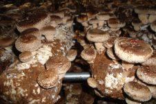 Agrinoon-mushroom-an08-2222